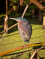 Green Heron standing on one leg in duckweed at Wakodahatchee Wetlands