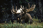 A bull moose lays in the green grass on a forest edge.