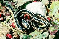 ANIMALS.Common Garter Snake.Hamnophis sirtalis