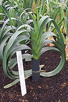 Blanching leeks with stem cover in garden, with plant label, Steve's Selected