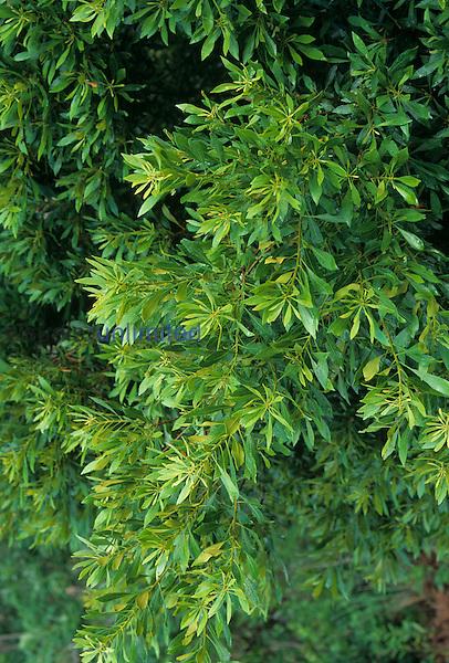Leavesof a Wax Myrtle ,Myrica cerifera, New Hanover County, North Carolina
