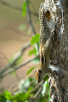 A young three striped palm squirrel, Yala