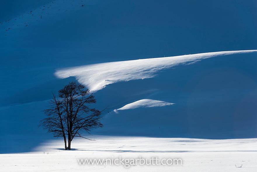 Lone tree - split Lodgepole Pine (Pinus contorta) - shadows and snow. Hayden Valley, Yellowstone National Park, Wyoming, USA. January
