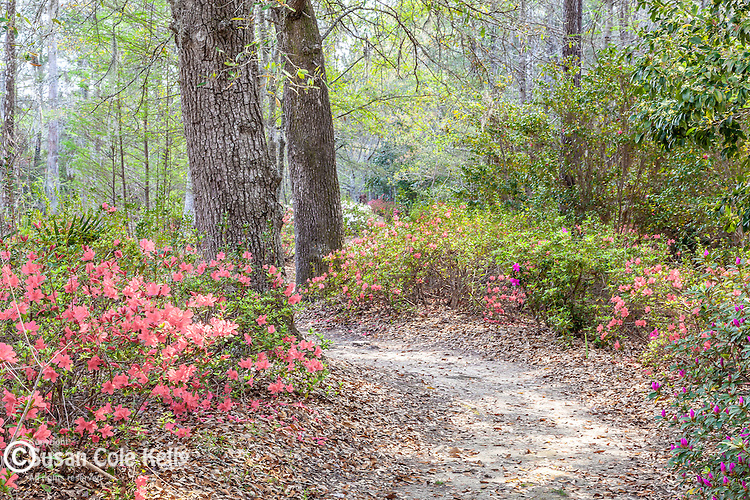 Azaleas bloom in spring at Cypress Gardens in Moncks Corner, South Carolina, USA