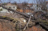 Türkentaube, Türken-Taube, Taube, Nest, Gelege mit Ei, Eiern, Streptopelia decaocto, collared dove