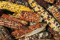 close up basket full of colorful autumne indian feed corn