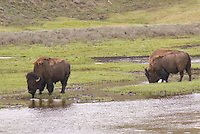 American Bison in Yellowstone
