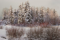 A momentary break in the clouds illuminates a cluster of Spruce treesin the Strawberry Park area of Steamboat Springs, Colorado
