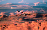 California condor, Colorado River, Arizona