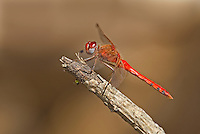 362750004 a wild male spot-winged meadowhawk dragonfly sympetrum signiferumon perches on a dead branch over empire creek las cienegas natural conservation area pima county arizona united states