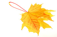 Beautiful fall coloured yellow maple leaf mirrored on a white background