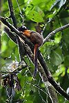 Golden-mantled Tamarin, Tiputini