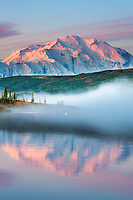 Trumpeter swan swims amidst the morning fog over the calm waters of Wonder lake at sunrise, Mt McKinley looms in the distance, Denali National park, Alaska.