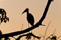 Marabou Storks silueted, Chobe Riverfront, Botswana