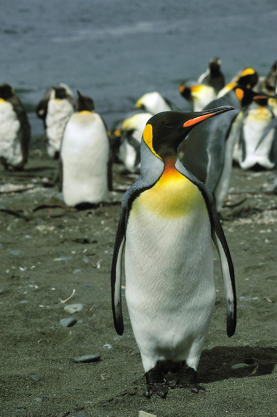 King Penguin - Sandy Bay, Macquarie Island