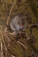 Zwergmaus, Zwerg-Maus, Micromys minutus, klettert im Gestrüpp, Harvest Mouse, Halmkletterer