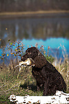 American Water Spaniel posing with his latest retrieve Shopping cart has 3 Tabs:<br />