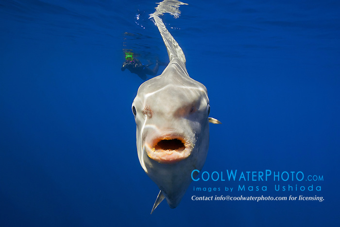 ocean sunfish, Mola mola, and snorkeler with underwater video camera, off San Diego, California, USA, East Paficic Ocean, Model Released MR-000088
