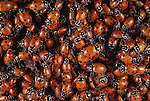 Ladybird beetles, Washington