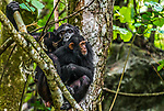 Two chimpanzees in a tree, Mahale Mountains National Park, Tanzania