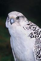 540753013 portrait of a captive white morph gyrfalcon falco rusticolis  bird is a falconer's bird
