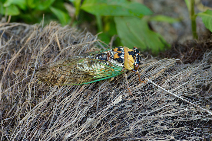 335000002 probably a dog day cicada genus tribicen resting on a pile of dead grasses at empire creek las cienegas natural area pima county arizona united states