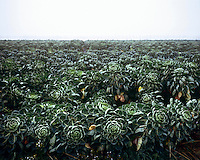 Cabbages growing in a field near Mesen, Ypres.