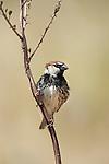 Spanish Sparrow, Passer hispaniolensis, Lesvos, Greece, common resident , lesbos