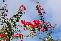 Bougainvillea is a genus of flowering plants.  Bougainvilleas are popular ornamental plants in most areas with warm climates.  They are thorny, woody vines growing anywhere from 1-12 meters tall, scrambling over other plants with their hooked thorns.