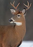 Whitetail Buck Portrait  #D9