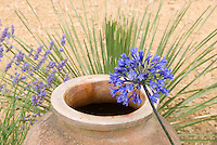 Blue Agapanthus, terracotta pot, ornamental grasses, lavender