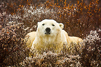 A male polar bear on the tundra along Hudson Bay, near Churchill, Manitoba, Canada