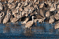 Sandhill Cranes wading in icy water
