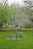 Apple orchard in spring. The trees are full with open apple blossoms and underplanted with tulips.