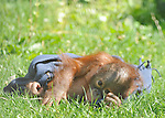 "SPAIN, Madrid : Orang-Utan baby Boo is pictured in his enclosure at Madrid's Zoo on April 14, 2011. The nine-months-old Orang-Utan was officially named Boo, inspired in the Sanskrit word ""bhoomi"" (or ""bumi"") which means Earth. (c) Pedro ARMESTRE"
