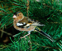Common Chaffinch (Fringilla coelebs), France