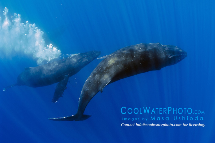 humpback whales, Megaptera novaeangliae, displaying courtship behavior - male approaches femal while blowing bubbles aggressively, Hawaii, USA, Pacific Ocean