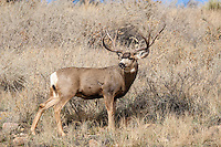 Mule deer (Odocoileus hemionus)trophy buck during the fall rut in Colorado