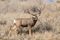 Mule deer (Odocoileus hemionus)trophy buck during the fall rut in Colorado