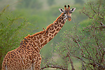 A Giraffe looks out from the brush whole acting as a perch for Oxpeckers in Africa.