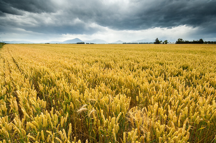 Field of golden wheat near Methven, Canterbury NZ.  Mountains obscured by dramatic dark clouds.