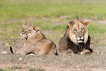 Lions, Panthera leo, Kgalagadi Tranfrontier Park, South Africa