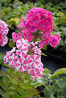 Striped flowers of Phlox paniculata Peppermint Twist with a dark pink variety