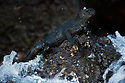 Marine Iguana (Amblyrhynchus cristatus)