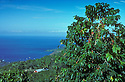 "Kona coffee plantation and tree with ripe ""cherry"" overlooking Kealakekua Bay; South Kona, Island of Hawaii."