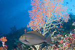 Rainbow Reef, Somosomo Strait, Fiji; a lone Elongate Surgeonfish (Acanthurus mata) swims in front of sea fan growing out of the coral reef wall