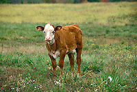 White faced calf in field