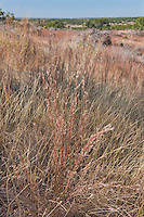 108030002 silver bluestem bothriochloa saccharoides a native grass on the laurels ranch owned by dave and myrna langford in the hill country of central texas united states