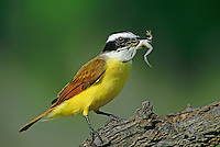 554810001 a wild great kiskadee pitangus sulphuratus perches on a dead log with a rio grande leopard frog rana berlandieri in its beak in the rio grande valley of south texas