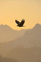 Bald Eagle soars over the Chugach mountain morning sunrise, Homer, Southcentral Alaska